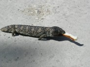 Not a dead stumpy: shingleback lizard at the Pines