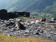 Billy Goats relaxing in the slate quarries
