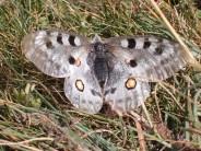 Apollo moth in Gran Paradiso National Park