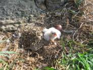 Peregrine chick