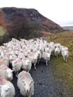Off up Drygarn Fawr, sheep in pursuit