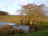 Tree and Pond, Shaftoe