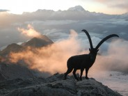 Ibex at Cabane d'Orny