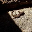 Le Pradiza lizard