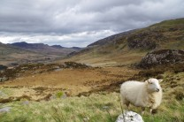 Scenic sheep in Wales