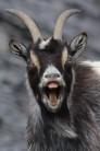 Cool Quarry Goat
