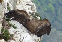Griffon vulture drying its wings.