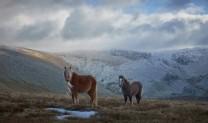 Ponies, Carneddau