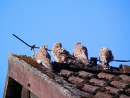 Four baby kestrels having a family get together