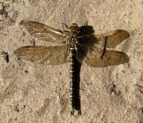 Common Hawker Dragonfly.