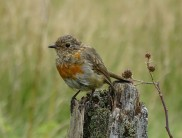 A rather tame Robin on Dartmoor