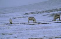 Spitsbergen tundra