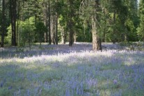 bluebells, Yosemite