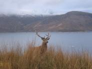 """""""One of the locals"""", Loch Quoich"""