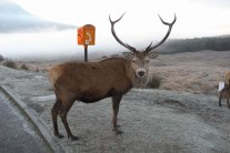 Deer - not in Glen Nevis! Near Bridge of Orchy?